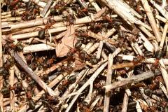 Δασικές μυρμήγκι και μυρμηγκοφωλιά στοκ φωτογραφία