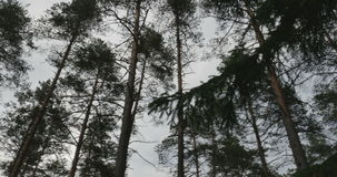 Δασικές ταλαντεύσεις πεύκων από τον αέρα φιλμ μικρού μήκους
