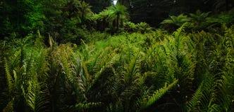 Δασικές φτέρες 1 Στοκ Εικόνα