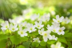 δασική άνοιξη λουλουδιών Στοκ Εικόνα