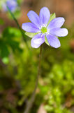 δασική άνοιξη nobilisin hepatica Στοκ φωτογραφία με δικαίωμα ελεύθερης χρήσης