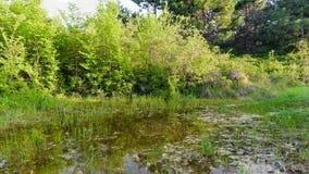 Δασική λίμνη με τα δέντρα πεύκων Στοκ Εικόνα