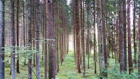 Δασική αλέα των κωνοφόρων δέντρων Στοκ Φωτογραφίες