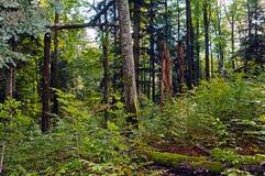 Δασική επιφύλαξη οξιά-έλατου Στοκ φωτογραφία με δικαίωμα ελεύθερης χρήσης
