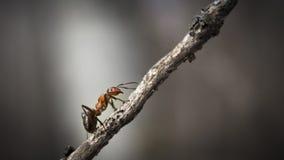 Δασική κινηματογράφηση σε πρώτο πλάνο μυρμηγκιών Στοκ Εικόνα