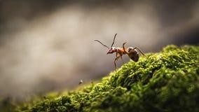 Δασική κινηματογράφηση σε πρώτο πλάνο μυρμηγκιών Στοκ εικόνες με δικαίωμα ελεύθερης χρήσης