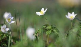 Δασική κινηματογράφηση σε πρώτο πλάνο nemorosa Anemone λουλουδιών snowdrop Στοκ εικόνα με δικαίωμα ελεύθερης χρήσης