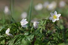 Δασική κινηματογράφηση σε πρώτο πλάνο nemorosa Anemone λουλουδιών snowdrop Στοκ Εικόνες