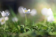 Δασική κινηματογράφηση σε πρώτο πλάνο nemorosa Anemone λουλουδιών snowdrop Στοκ Φωτογραφία