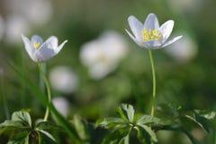 Δασική κινηματογράφηση σε πρώτο πλάνο nemorosa Anemone λουλουδιών snowdrop Στοκ φωτογραφία με δικαίωμα ελεύθερης χρήσης