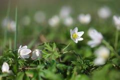 Δασική κινηματογράφηση σε πρώτο πλάνο nemorosa Anemone λουλουδιών snowdrop Στοκ φωτογραφίες με δικαίωμα ελεύθερης χρήσης