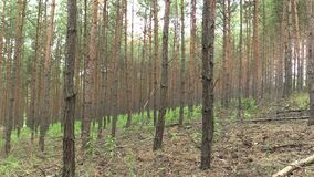 Δασική μονοκαλλιέργεια του δάσους sylvestris πεύκων πεύκων στην εθνική επιφύλαξη φύσης Vate pisky, επεκτατικό και μερικώς απόθεμα βίντεο