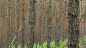 Δασική μονοκαλλιέργεια του δασικού φλοιού sylvestris πεύκων πεύκων στην εθνική επιφύλαξη φύσης Vate pisky, επεκτατικό και απόθεμα βίντεο