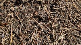 Δασική μυρμηγκοφωλιά με να τρέξει γύρω φιλμ μικρού μήκους