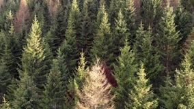 Δασική πτήση δέντρων καρφιτσών στο ηλιοβασίλεμα στην άνοιξη απόθεμα βίντεο