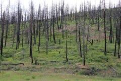 Δασική πυρκαγιά μετά από το μαύρο δάσος Στοκ Εικόνες
