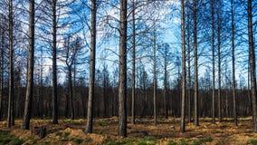 Δασική πυρκαγιά πεύκων Στοκ φωτογραφίες με δικαίωμα ελεύθερης χρήσης