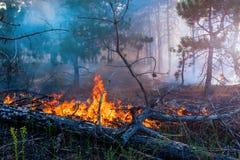 Δασική πυρκαγιά το πεσμένο δέντρο καίγεται στο έδαφος πολύ καπνό όταν vildfire Στοκ Φωτογραφία