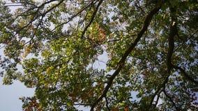 Δασική σειρά πτώσης - ένας όμορφος ζωηρόχρωμος θόλος δέντρων που ταλαντεύεται στο αεράκι απόθεμα βίντεο