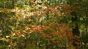 Δασική σειρά πτώσης - ένας όμορφος θάμνος που ταλαντεύεται ήπια στον αέρα με τα μμένα πορτοκαλιά φύλλα απόθεμα βίντεο