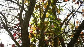 Δασική σειρά πτώσης - ένα δέντρο που γίνεται μερικώς πορτοκαλί κατά τη διάρκεια των αρχών του φθηνοπώρου φιλμ μικρού μήκους