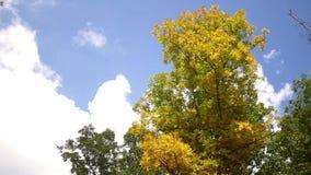 Δασική σειρά πτώσης - τα σύννεφα ορμούν από ένα δέντρο γίνοντας κίτρινα κατά τη διάρκεια της πτώσης απόθεμα βίντεο