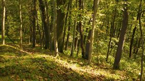 Δασική σειρά πτώσης - φύλλα που βάζουν στην κλίση ενός λόφου το πρώιμο φθινόπωρο απόθεμα βίντεο