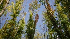 Δασική σειρά πτώσης - ψηλά μεταβαλλόμενα δέντρα χρώματος που τινάζουν στο αεράκι φθινοπώρου απόθεμα βίντεο