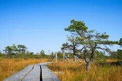 Δασική σκηνή πεύκων στο αυξημένο έλος Εθνικό πάρκο Kemeri, Λετονία Στοκ φωτογραφία με δικαίωμα ελεύθερης χρήσης