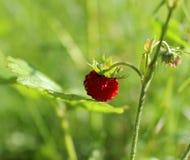 Δασική φράουλα στο υπόβαθρο των φύλλων και της χλόης στοκ εικόνες