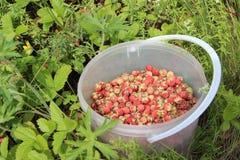 Δασική φράουλα Στοκ εικόνα με δικαίωμα ελεύθερης χρήσης