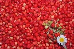Δασική φράουλα Στοκ Εικόνες