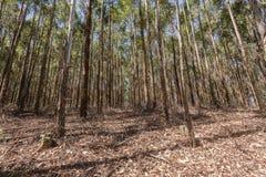 Δασική φυτεία χαμόκλαδου δέντρων στοκ φωτογραφία με δικαίωμα ελεύθερης χρήσης