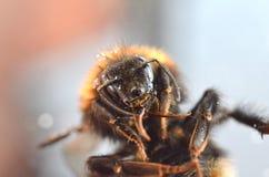 Δασική bumblebee κούκων βρετανική στενή επάνω μακροεντολή στοκ φωτογραφίες