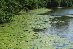 Δασικοί κρίνοι της κοιλάδας στοκ φωτογραφία