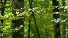 Δασικοί κλάδοι οξιών με τα φύλλα το πρόωρο φθινόπωρο απόθεμα βίντεο