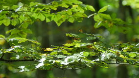 Δασικοί κλάδοι οξιών με τα φύλλα το πρόωρο φθινόπωρο φιλμ μικρού μήκους