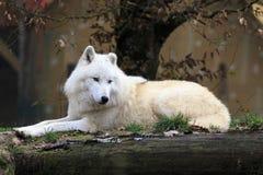 δασικός άσπρος λύκος στοκ φωτογραφία