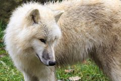δασικός άσπρος λύκος στοκ φωτογραφίες