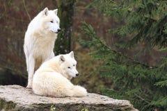 δασικός άσπρος λύκος στοκ φωτογραφία με δικαίωμα ελεύθερης χρήσης