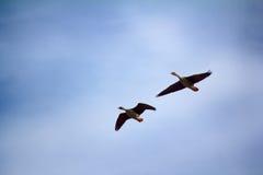 Δασικός-αναπαράγοντας χωραφόχηνα - ζεύγος των χήνων αναπαραγωγής Στοκ Εικόνες