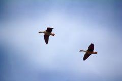 Δασικός-αναπαράγοντας χωραφόχηνα - ζεύγος των χήνων αναπαραγωγής Στοκ εικόνα με δικαίωμα ελεύθερης χρήσης