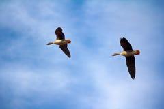 Δασικός-αναπαράγοντας χωραφόχηνα - ζεύγος των χήνων αναπαραγωγής Στοκ εικόνες με δικαίωμα ελεύθερης χρήσης