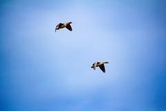 Δασικός-αναπαράγοντας χωραφόχηνα - κοπάδι των χήνων αναπαραγωγής Στοκ εικόνα με δικαίωμα ελεύθερης χρήσης