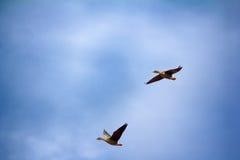 Δασικός-αναπαράγοντας χωραφόχηνα - κοπάδι των χήνων αναπαραγωγής Στοκ Φωτογραφίες