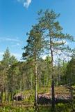 δασικός βράχος πεύκων γρανίτη Στοκ φωτογραφία με δικαίωμα ελεύθερης χρήσης