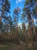 Δασικός δρόμος μεταξύ των μεγάλων πεύκων και άλλων δέντρων στοκ φωτογραφία με δικαίωμα ελεύθερης χρήσης