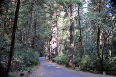 Δασικός δρόμος Redwood στοκ φωτογραφίες