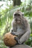 δασικός πίθηκος του Μπαλί ubud Στοκ εικόνες με δικαίωμα ελεύθερης χρήσης