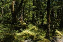 δασικός παλαιός άθικτος φύσης Στοκ Εικόνες